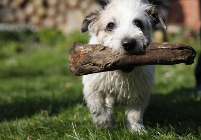 Hund mit Stöckchen © Felix Jork - Fotolia.com
